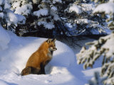 Red Fox Among Evergreens in a Snowy Landscape