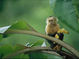 White-Throated Capuchin Monkey  Cebus Capucinus  Eating a Banana