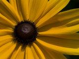 Close-up Detail of a Black-Eyed Susan Flower