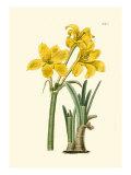 Yellow Narcissus I