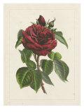 Van Houtteano Rose I