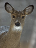 Female White-Tailed Deer  Odocoileus Virginianus  in a Snow Shower