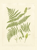 Ferns with Platemark I Reproduction d'art