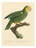 Barraband Parrot No 98