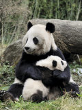 Giant Panda  Mother and Baby