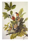 Rouge-gorge américain Reproduction d'art par John James Audubon