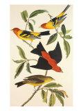 Louisiana Tanager  Scarlet Tanager