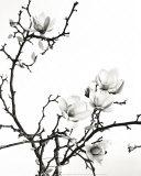 Branch of Magnolia