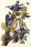 Grand pic Reproduction d'art par John James Audubon