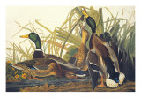 Colvert Reproduction d'art par John James Audubon
