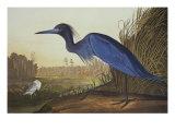 Grue bleue ou héron Reproduction d'art par John James Audubon