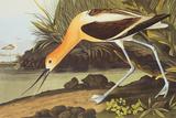 Avocette d'Amérique Reproduction d'art par John James Audubon