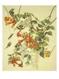 Colibri à gorge rubis Reproduction d'art par John James Audubon