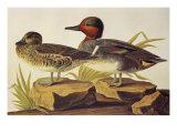 Sarcelle d'Amérique à ailes vertes Reproduction d'art par John James Audubon
