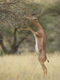 Male Gerenuk (Litocranius Walleri)  Samburu National Reserve  Kenya