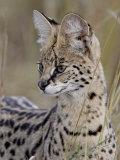 Serval (Felis Serval)  Masai Mara National Reserve  Kenya  East Africa  Africa