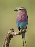 Lilac-Breasted Roller (Coracias Caudata)  Serengeti National Park  Tanzania  East Africa  Africa