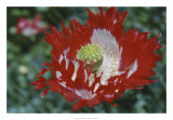 Raglin Red Poppy