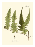 Small Antique Fern VII Reproduction d'art