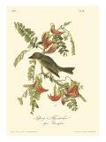 Pipiry Flycatcher