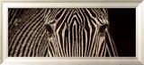 Zebra Grevy Reproduction encadrée par Marina Cano
