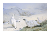 Ptarmigan in Winter