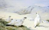 Black Grouse in Winter