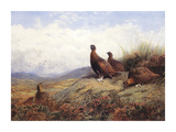 A Group of Red Grouse