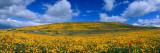 California Golden Poppies Blooming  Antelope Valley California Poppy Reserve  Antelope Valley