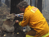 Firefighter Shares His Water an Injured Australian Koala after Wildfires Swept Through the Region Papier Photo