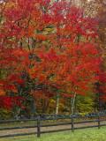 Sugar Maple in Autumn  Twin Ponds Farm  West River Valley  Vermont  USA
