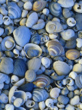 Shells of Freshwater Snails and Clams on Shore of Bear Lake  Utah  USA