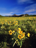 Balsamroot Along the Rocky Mountain Front  Waterton Lakes National Park  Alberta  Canada