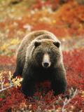 Ours Grizzly marchant au milieu des myrtilles alpines,  Parc National de Denali, Alaska, USA Papier Photo par Hugh Rose