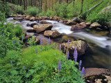 Lupine Along Jacobsen Creek in the Pioneer Range of Montana  USA