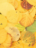 Wet Aspen Leaves in Autumn  Gunnison National Forest  Colorado  USA