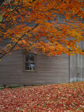 Barn and Maple Tree in Autumn  Vermont  USA