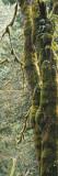 Mossy Tree Trunk  Olympic National Forest  Olympic National Park  Washington  USA