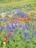 Wildflowers Growing in Mount Timpanogos Wilderness Area  Wasatch Mountains  Uinta National Forest