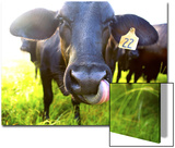 Close-Up of Cow with Tongue Up its Nose