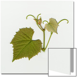 Spring Grape Leaf  View of Front Side