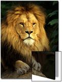 Lion (Panthera Leo) Portrait