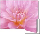Still Life Photograph  Close-Up of Pink Dahlia