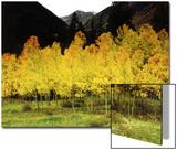Brilliant Golden Aspen Trees in Rocky Mountains Near Silverton  Southwestern Colorado  USA