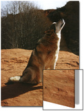 Gray Wolf Howling  Sedona  Arizona  USA