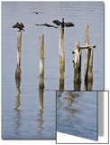 Cormorants  California Coast