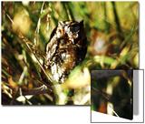 Owl Sedona  Arizona  USA