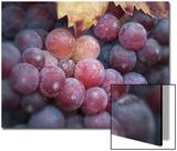Close-Up of Zinfandel Wine Grapes