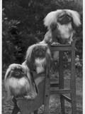 Pekingese 1953