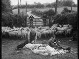 Shearing Sheep  Wales